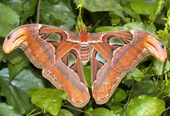 Atlas Moth. (nondesigner59) Tags: nature closeup lepidoptera captive attacusatlas butterflyhouse atlasmoth eos50d snakesheadmoth nondesigner nd59 copyrightmmee