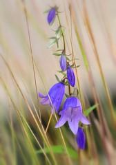 Bellflower (nikkorglass) Tags: explore peachleavedbellflower campanulapersicifolia bellflower blåklocka storblåklocka
