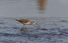 MRC_3568 Archibebe Claro - Greenshank @ 40m (Obsies) Tags: waders limicolas nikon naturaleza birds pajaros water sea archibebe greenshank