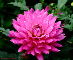 Dahlia (rumerbob) Tags: dahlia flower floral flowergarden flowerphoto macro macroflower macrophotography longwoodgardens canon7dmarkii canon100mmmacrolens fauna nature