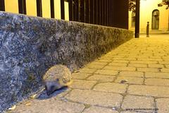 Night visitor (Erinaceus europaeus) - www.paolomeroni.com (www.paolomeroni.com) Tags: hedgehog erinaceuseuropaeus riccioeuropeo mammalia mammals village night landscape ambientata riccioambientato iucn travel love eveninglight flash walk watching ngc nikonflickraward paolomeroni wwwpaolomeronicom wildlifephotography wild wildlife fotografianaturalistica nature manandnature naturewatcher naturalworld naturallight naturaleza nightlife nightvisitor