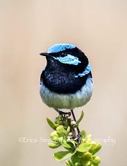 Superb Fairy-wren, Salt Creek ,Coorong,S A_99A1909 (ozwildbird) Tags: bird smallbird wren fly superbfairywren songbird