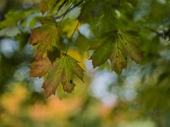 Autumn (sprytnyiwybitny) Tags: omd leaves green yellow sky takumar 50mm 14 smctakumar olympus em10 smc 11450 smctakumar1450mm takumar1450mm autumn