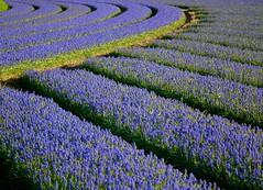 Flowerlandscape (Frans.Sellies) Tags: flowers flower holland netherlands landscape nederland thenetherlands fields paysbas flowerfields olanda hyacinth hulanda niederlande egmond  muscari grapehyacinth blauwdruifje bollenveld bollenstreek grapehyacinths hollandia muscariarmeniacum bollenvelden   holandia hollanda pasesbajos blauwedruifjes pasesbaixos  traubenhyazinthen  alankomaat abigfave    nizozemsko  bulbregion dscf9099 nyderlandai      muscariarm nderlande