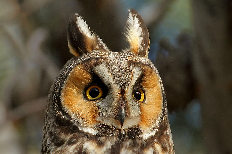 Long-eared-Owl-051103