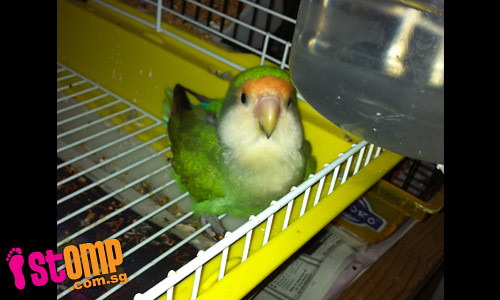 Please help me find my Lovebird, Baby: I miss her terribly