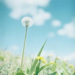 *たんぽぽさん (fangchun15) Tags: flower 120 6x6 film nature japan kodak bronica nagano s2 蒲公英 portra400 bronicas2