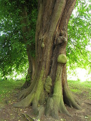 Sweet Chestnut in the grounds. (dangle earrings) Tags: tree canon sweet chestnut bole dangleearrings kedlestonhallderbyshire sx30is