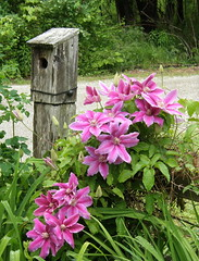 Clematis (alcona) Tags: summer flower clematis