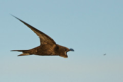 Gotcha! Common swift (Apus apus) catches insect (PeterQQ2009) Tags: holland birds apusapus