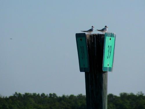 IMG_5666-Estero-Bay-least-terns