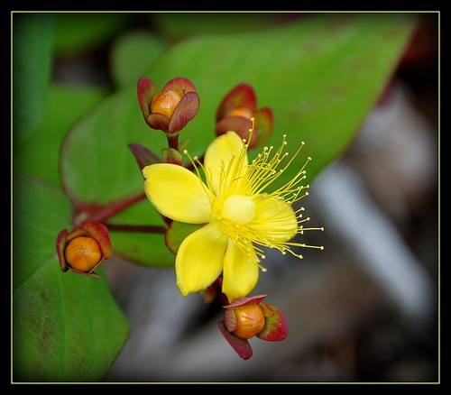 hypericum by berber hoving