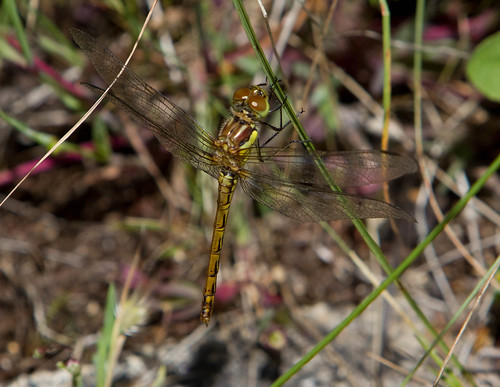Teneral Common Darter S striolatum