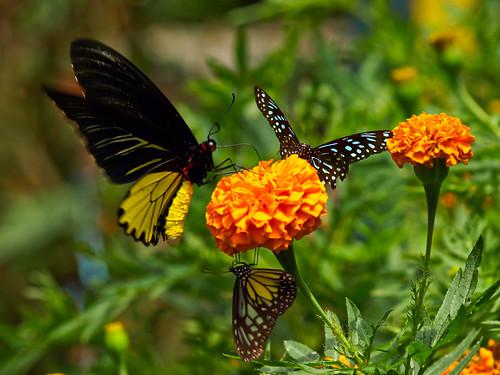 Mariposas en flor