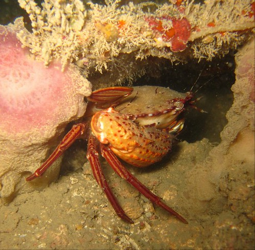 Red Swimmer Crab