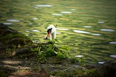 You Can't Really See Me (AincaArt) Tags: animal switzerland swan luzern short schwan tier kurz rotsee mungga youcantreallyseeme nikond7000 beginnerwithdslr aincaart