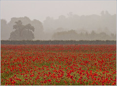 Poppies in the Rain (jo92photos) Tags: uk red england flower field rain weather countryside corn farm wildlife wheat poppy poppies wildflowers berkshire newbury meridian countrylife bradfield itv organicfarm allrightsreserved westberkshire rushallfarm s100fs jo92photos rushallorganicfarm wildlifecountryside