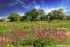 Kuwait In Spring (A.alFoudry) Tags: park blue trees cloud flower tree skye green nature yellow clouds canon eos nationalpark spring purple desert natural mark south lavender reserve full national frame 5d kuwait usm fullframe ef kuwaiti 2010 q8 abdullah  mark2  2035mm f3545 ||  kuw  q80 q8city xnuzha alfoudry   abdullahalfoudry foudryphotocom  mark|| 5d|| canoneos5d|| mk|| canoneos5dmark|| canonef2035mmf3545usm