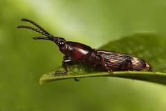 Oak Timber worm - Arrhenodes minutus _4878 (Eric Gofreed) Tags: arrhenodesminutus oaktimberworm