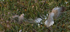 Collared Doves (aaron_eos_photography) Tags: summer tree nature birds garden inflight pigeon dove goldfinch sunday july bluesky wingspan overhead doves collareddove gardenwildlife wingspread nygerseed birdwildlife