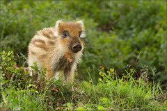Birthday Baby (hvhe1) Tags: baby nature animal forest pig nationalpark bravo wildlife youngster wildzwijn veluwe veluwezoom wildboar naturesfinest specanimal hvhe1 hennievanheerden