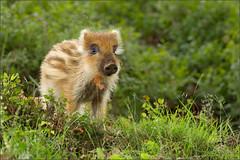Birthday Baby (hvhe1) Tags: baby nature animal forest pig nationalpark bravo wildlife youngster wildzwijn veluwe veluwezoom wildboar naturesfinest specanimal hvhe1 hennievanheerden