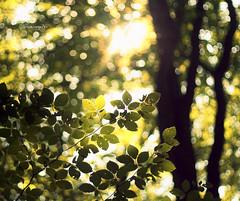 Forest bokeh (bloempje76) Tags: trees sunlight bokeh zon bladeren speulderbos bloempje76