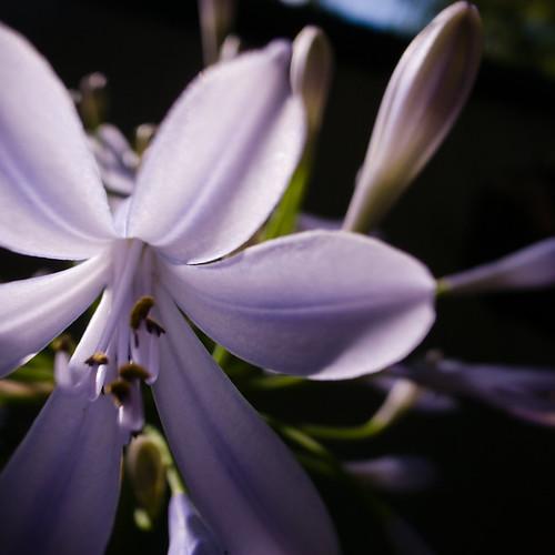 Violet White Star