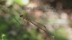 Copera annulata (Polotaro) Tags: macro nature pen bug insect video olympus   ep1        tamronsp90mmf28macro1172b