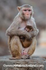 (Natalie Solveland) Tags: travel india monkey wildlife jaipur rajasthan macaque rhesus