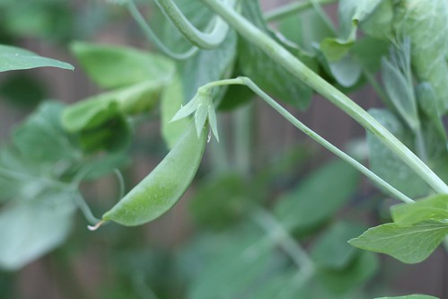 sugar snap peas 6.26