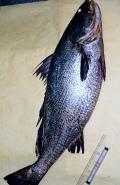 鮸魚是石首魚家族成員,也是白海豚的食物來源