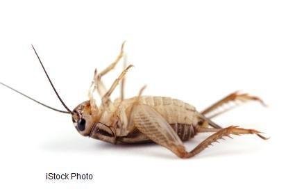 Dead Cricket - iStockPhoto