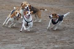 DLG_20140504_ 3150 (manutdot) Tags: beach beagle dogs fur sand ears tricolor doggies tricolour hounds beagles doggys