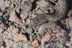Montpellier snake, Malpolon monspessulanus (willjatkins) Tags: montpelliersnake malpolonmonspessulanus frenchwildlife frenchsnakes frenchreptiles wildlifeofprovence reptilesofprovence snakesofprovence