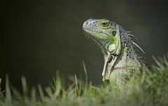 Iguana (Pragmatic1111) Tags: green eye look grass animal island nikon wildlife carribean lizard iguana peek stmaarten peeking nikon80400mm d700
