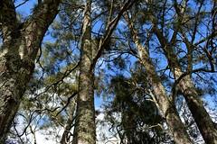 Swamp Oaks (dustaway) Tags: sky branches australia bark nsw lichen trunks northcoast australianflora casuarinaglauca casuarinaceae northernrivers swampoak richmondvalley