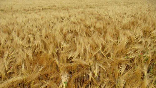 goldenes feld | golden field