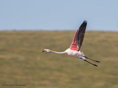 Greater Flamingo (Phoenicopterus roseus)   (Purevsuren Tsolmonjav) Tags: phoenicopterus roseus greater flamingo birdsofmongolia birdingmongolia