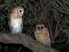 Masked Owls (juv female & male) (Vas Smilevski) Tags: maskedowl tytonovaehollandiae tytonidae owl owls nocturnal nocturnalbirds night nightphotography birds bird birding wildlife feathers animals m43 getolympus australianbirds australia nsw nature ngc olympusomdem1 mzuiko300mmf4pro omd em1 300mm fl600r flash olympus olympusau olympusinspired