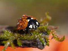 Toilette matinale (libellsoph) Tags: libellsoph macro coccinelle ladybug ladybird nature gouttes drops