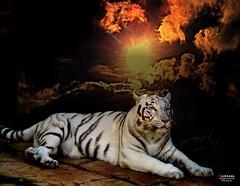 Sun Tiger (Lanzarote) (caren (Thanks for 1 Million+ views)) Tags: whitebengaltiger weisserbengalischertiger pantheratigris ranchotexaslanzarotepark lanzarote spanien sonnenuntergang sunset magicmoments golden goldensun holiday colours
