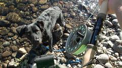 CowlitzRiverSpey092516_26.jpg (alejandromendoza972) Tags: adventuredog alba cowlitzriver flyfishing spey steelhead steelheading washington