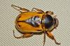 Escarabajo de Bogota vista dorsal (entomopixel) Tags: insect beetle lepidoptera escarabajo cucarron scarabaeidaea