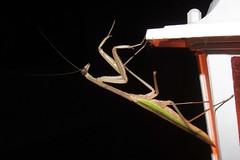 the guest on our lanai (BarryFackler) Tags: life light nature night bug mantis insect hawaii bigisland predator kona lanai captaincook invertebrate arthropod preyingmantis southkona captaincookhi barryfackler barronfackler