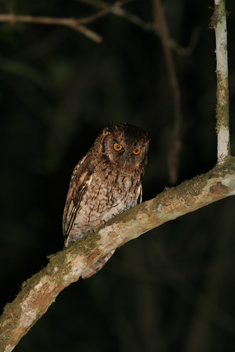 Variable Screech-owl - Megascops atricapillus, Itatiaia National Park, Brazil, 2006_09_11_050.jpg