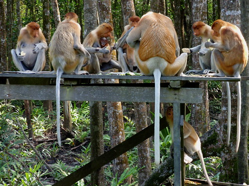 Proboscis monkeys group