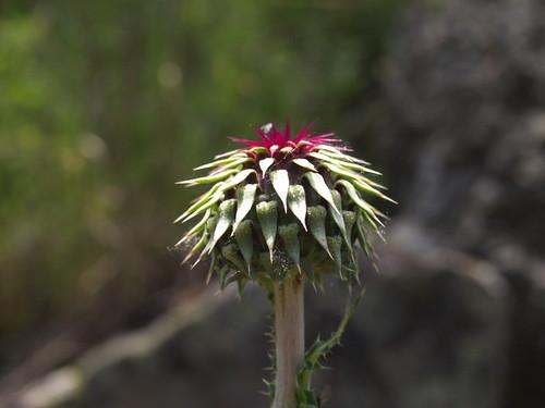 菊科薊屬的花苞