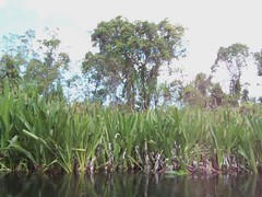 Siska_03 (RarePlanet) Tags: wildlife reserve credit aceh singkil photo fransisca bogor1 rawa sumatra ariantiningsih