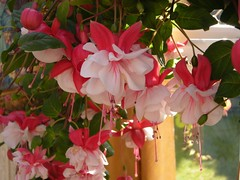 Fuschia: Swingtime  (and a Thought of the Day) (Mystic Ed & Fluffy) Tags: morning pink flowers sun color nature beautiful leaves sunshine garden petals earlymorning conservatory lilac fuschias gardenroom sepals hangingbaskets mysticedfluffysmagickalgarden